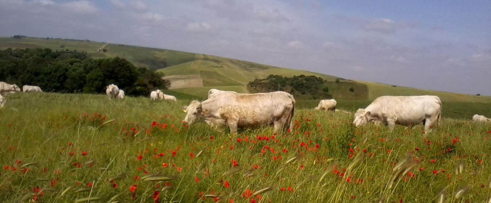 Associazione Nazionale degli Allevatori delle razze bovine Charolaise e Limousine Italiane
